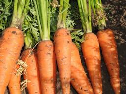 Морковь продовольственная