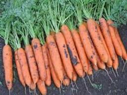 Морковь столовая (сорта Бангор, Дордонь)