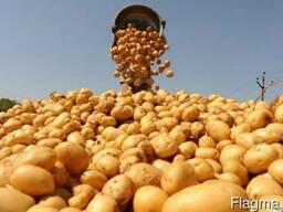 Организация реализует картофель.