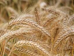 Кукуруза фуражная, пшеница, овес, ячмень, тритикале, Рож, рапс
