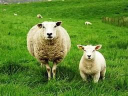 Овцы мясных пород