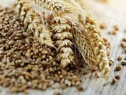 Фураж. зерно(пшеница, ячмень, тритикале, овес, кукурузу). Предоплата. Самовывоз.
