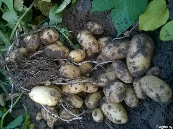 Овощи: лук, картофель, морковь, лук-севок, чеснок яр. и оз.