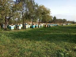 Пчелиные матки плодные и неплодные
