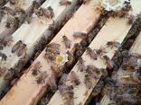 Пчеломатки плодные бакфаст - фото 1