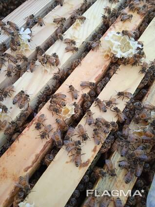 Пчеломатки плодные бакфаст