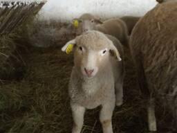 Племенной ремонтный молодняк овец породы прекос