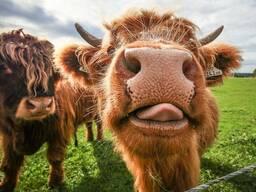Покупаем бычков живым весом
