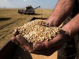 Зерно фуражное: ячмень, пшеница, тритикале, рожь, овёс.