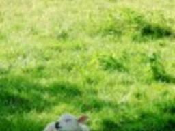Престартеры премиксы для телят , коров, свиньи