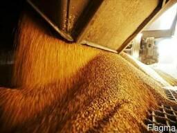 Продаю зерно, овёс, рожь, пшеница, кукуруза