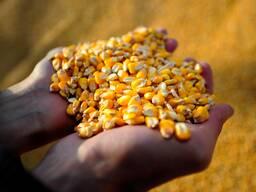 Продам фуражную кукурузу. РБ