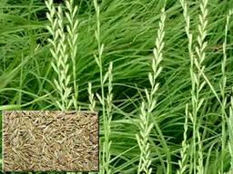 Продам семена - райграс пастбищный