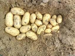 Продам семенной картофель сорт Королева Анна
