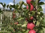 Продам яблоко свежее - фото 1