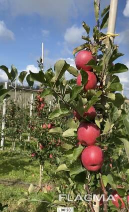 Продам яблоко свежее