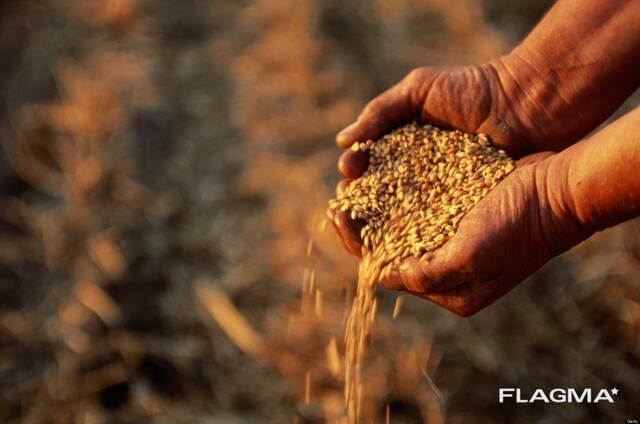 Кукуруза, тритикале, ячмень, овёс, пшеница, рожь куплю, дорого !!!