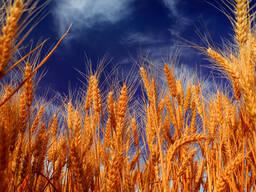 Пшеница, 2020!