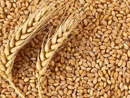 Пшеница продовольственная 3 класс