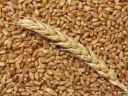 Пшеница фуражная, ячмень фуражный, тритикале фуражный, рожь
