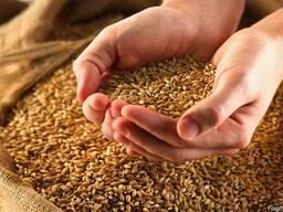 Пшеница овес тритикали