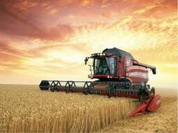 Пшеница продовольственная 3, 4 класс.