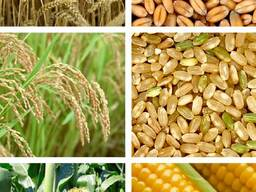 Пшеница ячмень овёс кукуруза