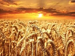 Пшеница, ячмень , тритикале