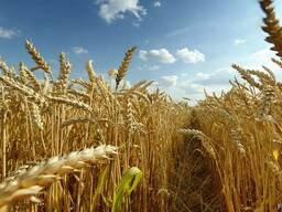 Пшеницу фуражную, рапс