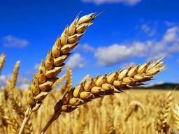 Пшеницу, ячмень, овес, тритикале