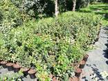 Рассада голубики садовой - фото 1