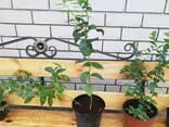 Рассада голубики садовой - фото 3