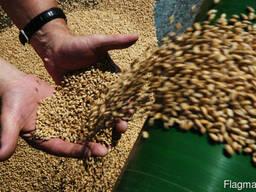 Реализуем зерно на кормовые цели. Доставка.