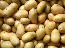 Sale of potatoes for Export Ukraine, Serbia, Moldova