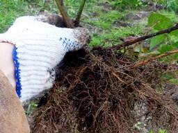 Саженцы ежевики Коламбия стар