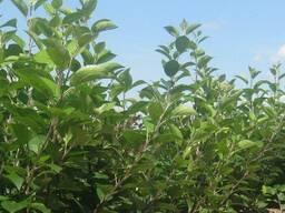Саженцы и подвои плодовых культур