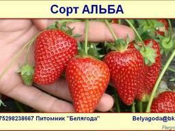 Саженцы клубники Альба/Alba