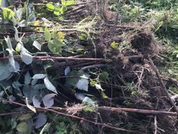 Саженцы малины Маравилла