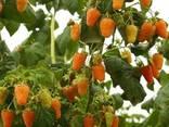 Саженцы малины садовой оптом от производителя РБ. - фото 4