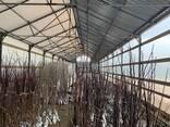 Саженцы плодово-ягодных деревьев и кустарников - фото 1