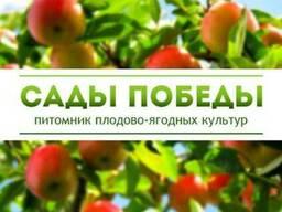 """Саженцы плодово-ягодных культур в питомнике """"Сады Победы"""""""