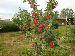 Саженцы плодовых крупномеры 3-5 лет - фото 4