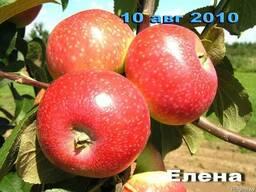 Саженцы яблони - фото 2