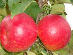 Саженцы яблони - фото 4
