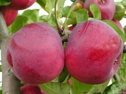 Саженцы яблони - фото 5