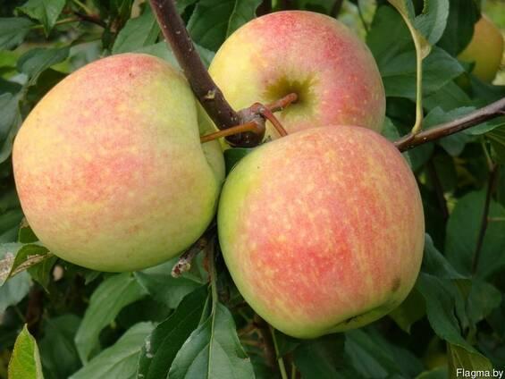 Саженцы яблони Ананасовое