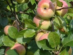 Саженцы яблони Ауксис