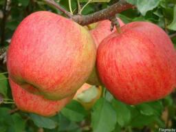 Саженцы яблони Чемпион (Сhampion)