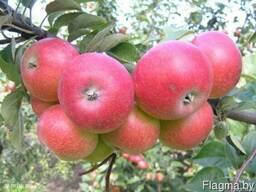 Саженцы яблони Елена - фото 1