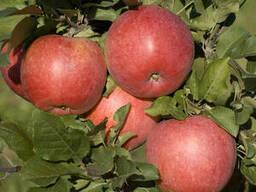 Саженцы яблони Хани крисп
